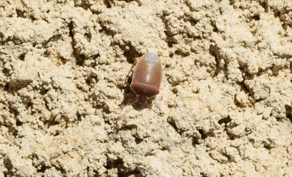 [Acrosternum heegeri] Pentatomidae 03-28-10