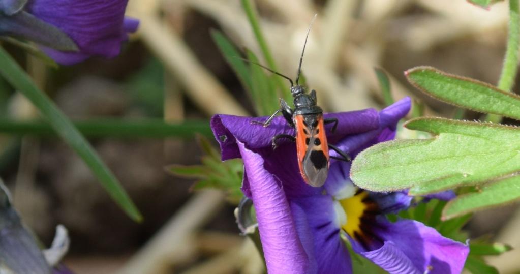 [Peirates cf. stridulus] Reduviidae 04-17-10