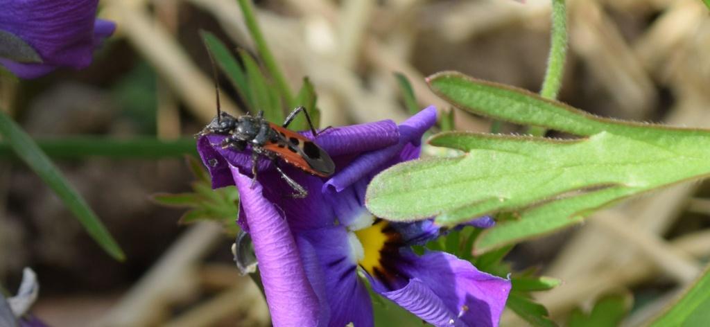 [Peirates cf. stridulus] Reduviidae 04-17-11