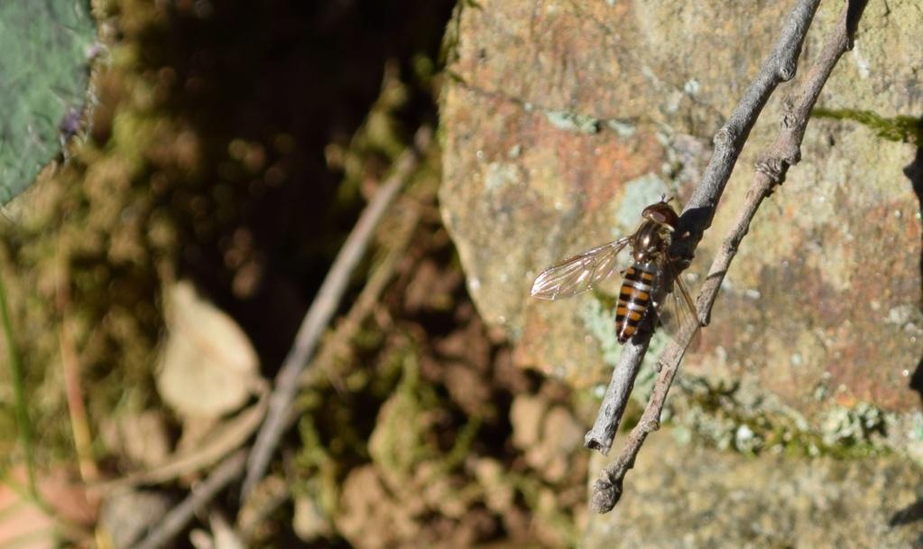 [Episyrphus balteatus] Episyphus 06-02-10