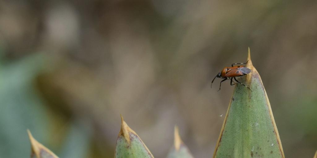 [Deraeocoris punctum] Miridae 06-21-10