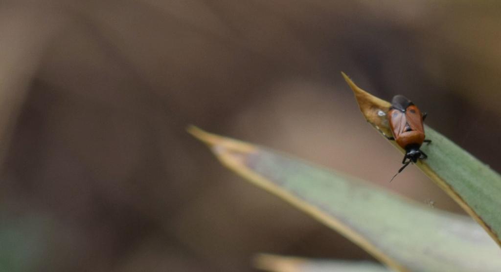 [Deraeocoris punctum] Miridae 06-21-11