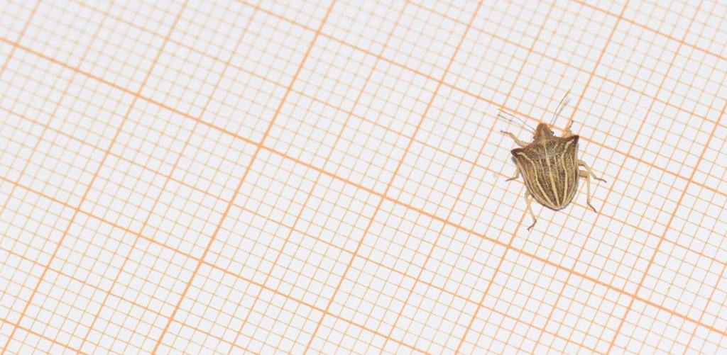 [Ancyrosoma leucogrammes] Pentatomidae 07-13-14