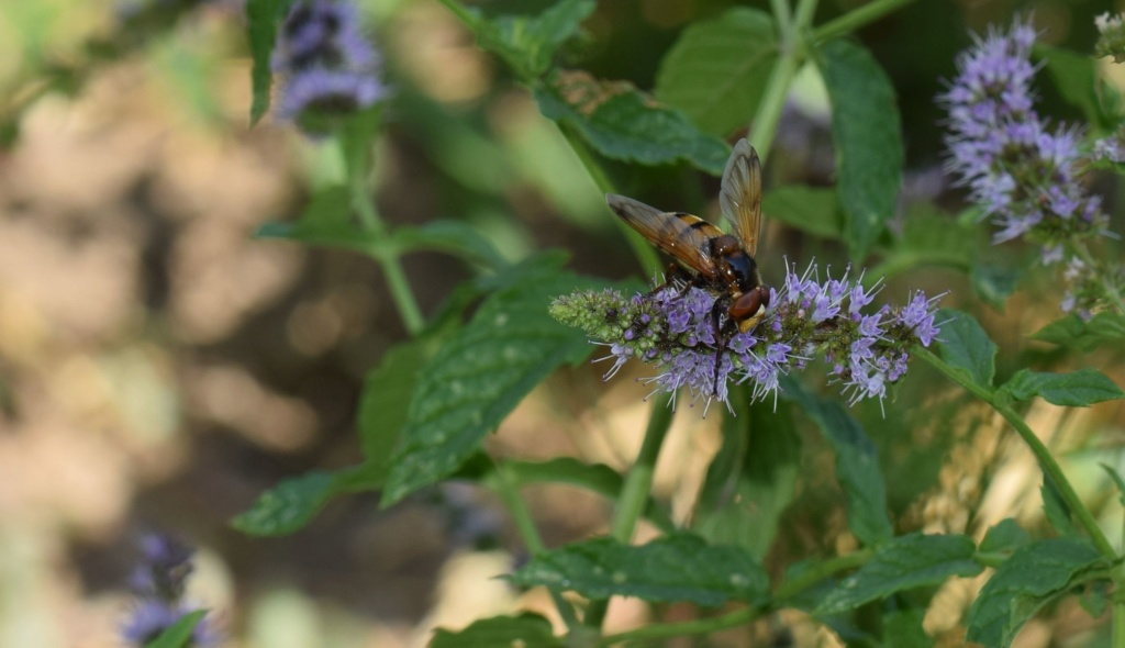 [Volucella inanis] Syrphidae 07-22-10