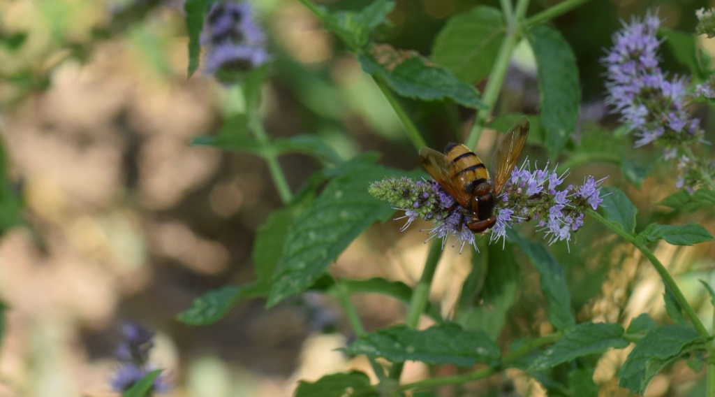 [Volucella inanis] Syrphidae 07-22-11