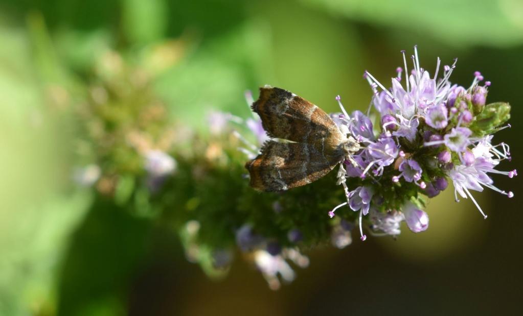 Choreutidae 07-28-10