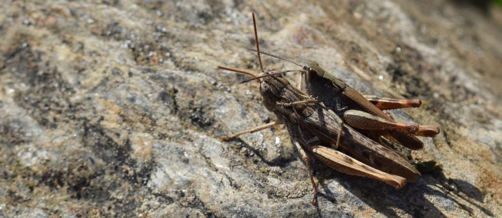 [Chorthippus cf. vagans] Couple de Stenobothrus ? 09-02-12