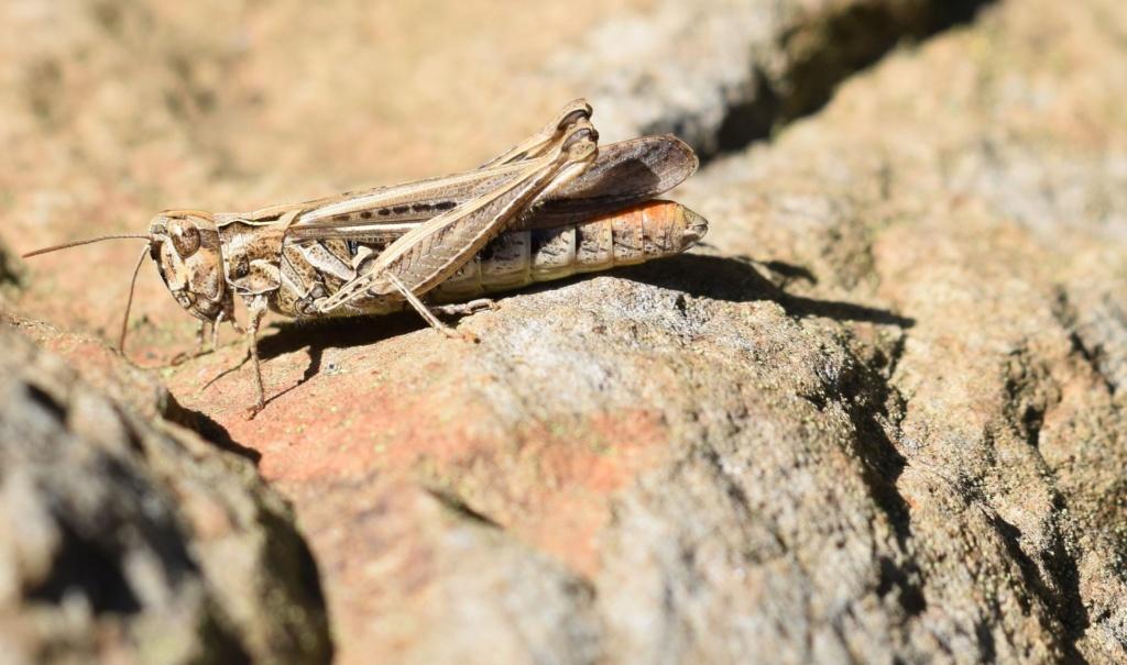 [Chorthippus sp. (brunneus/biguttulus/mollis)] B.B;M. ? 09-13-10