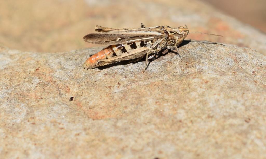 [Chorthippus sp. (brunneus/biguttulus/mollis)] B.B;M. ? 09-13-11