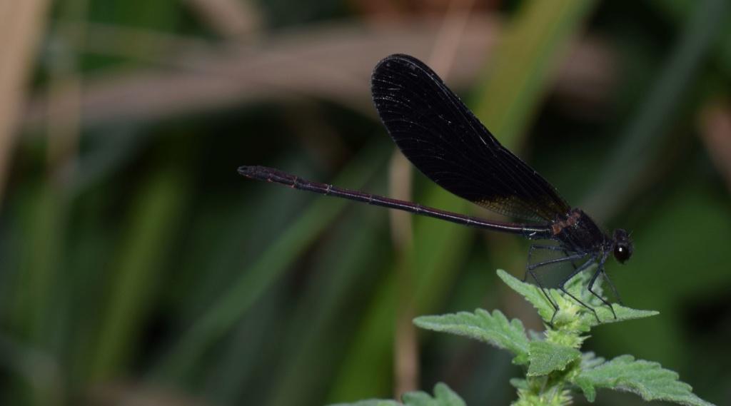 [Calopteyx haemorrhoidalis] Calopteryx 09-16-11