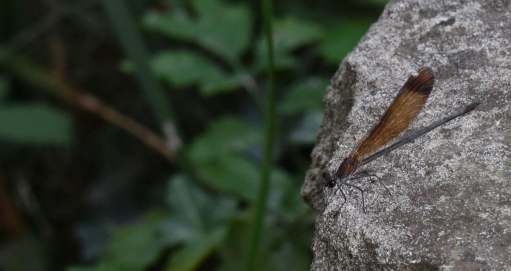 [Calopteyx haemorrhoidalis] Calopteryx 09-16-13