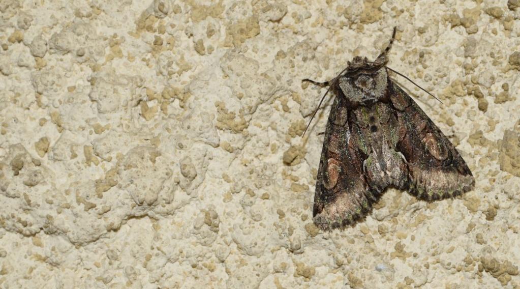 [Allophyes oxyacanthae] Noctuidae. 10-18-10