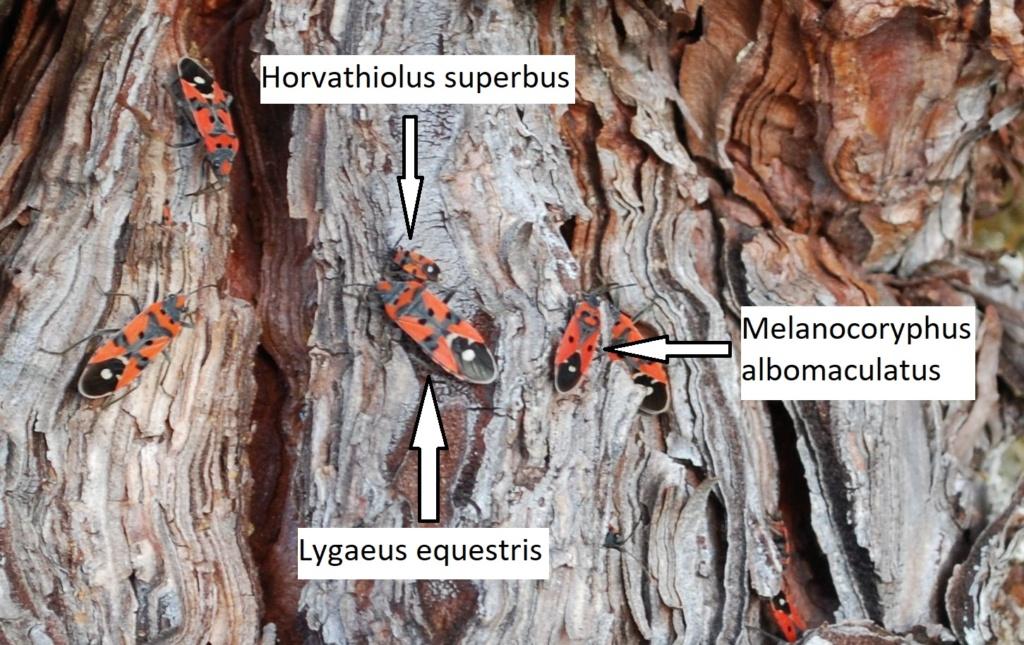 [H. superbus, M. albomaculatus & Lygaeus sp.] Noël en famille 12-22-10