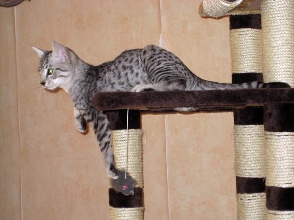 E'Sethi Accuente, le chaton voyageur Sethic10