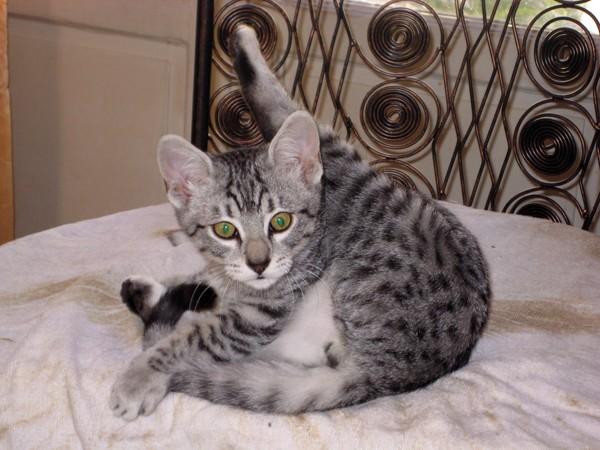 E'Sethi Accuente, le chaton voyageur Sethit13