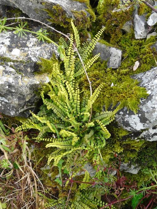 plantes sauvages des pyrénées  Asplen10