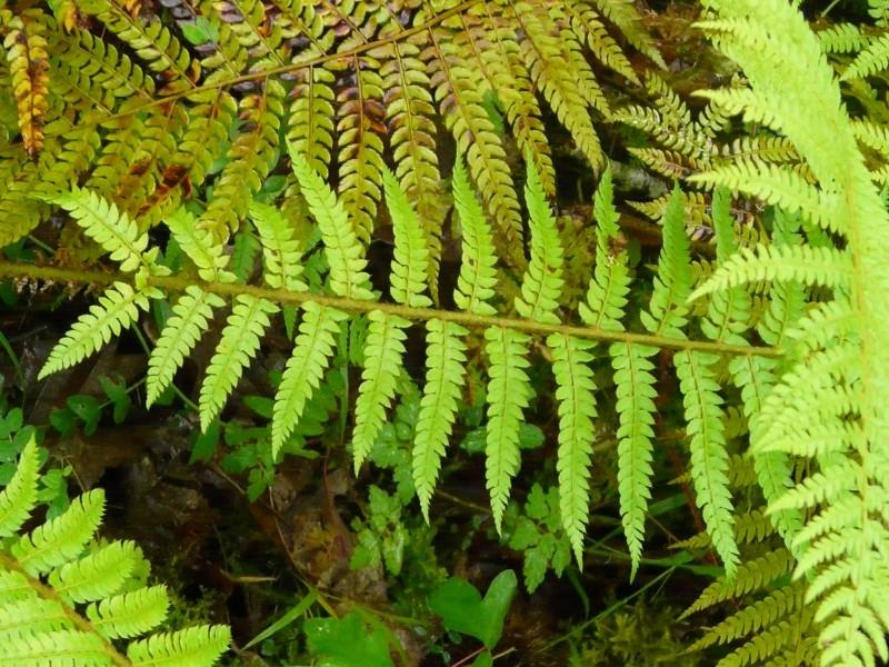 plantes sauvages des pyrénées  Dryopt11