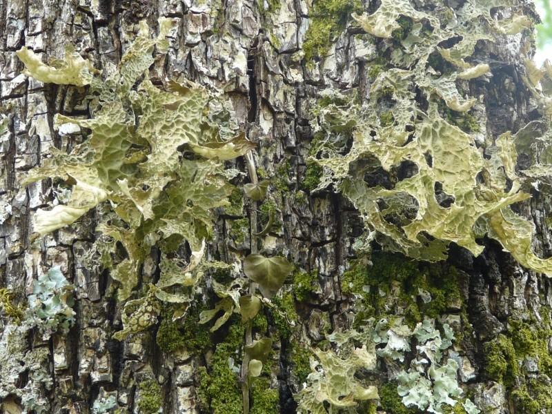 plantes sauvages des pyrénées  Le_lic10