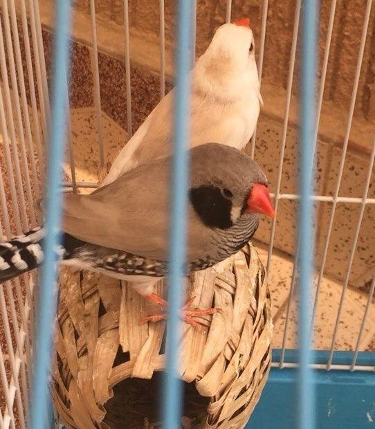 طيور زيبرا للبيع في الرياض 0115