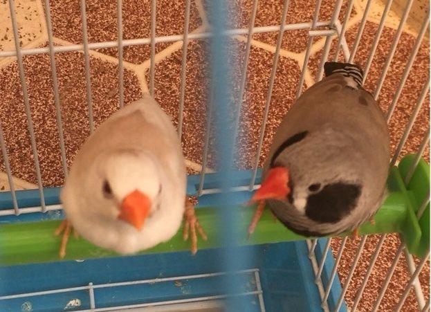 طيور زيبرا للبيع في الرياض 0211