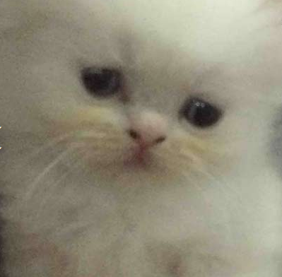 للبيع قطه شيرازي مون فيس بيضاء اللون  110