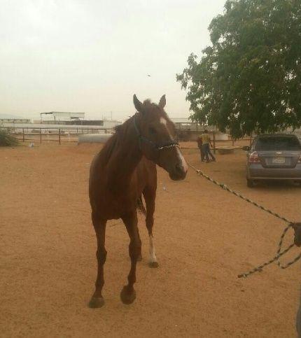 حصان عربي جميل للبيع 1109