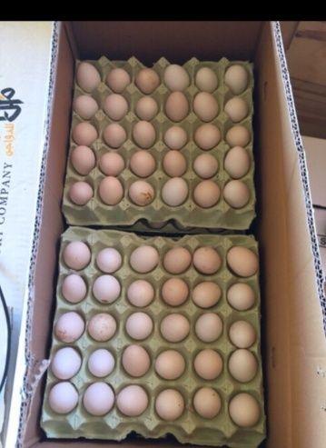 يوجد بيض بلدي ملقح بكميات كبيرة للبيع 1112