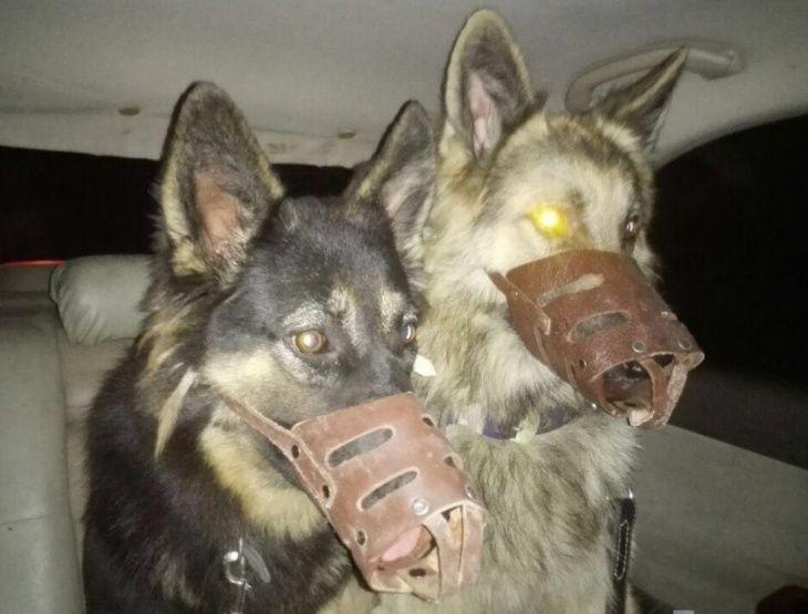 كلاب جيرمن شيبرد للحراسة للبيع  1117
