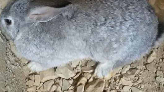 للبيع ارنب شنشلا  ايطالي  113