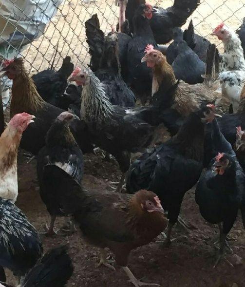 دجاج بلدي بياض الخرج للبيع بالجملة 1130