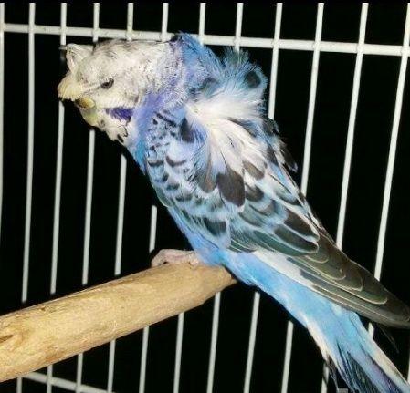 انثي طائر حب هوقو للبيع 1156