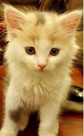 قطة امريكيه صغيرة لعوبة للبيع  1158