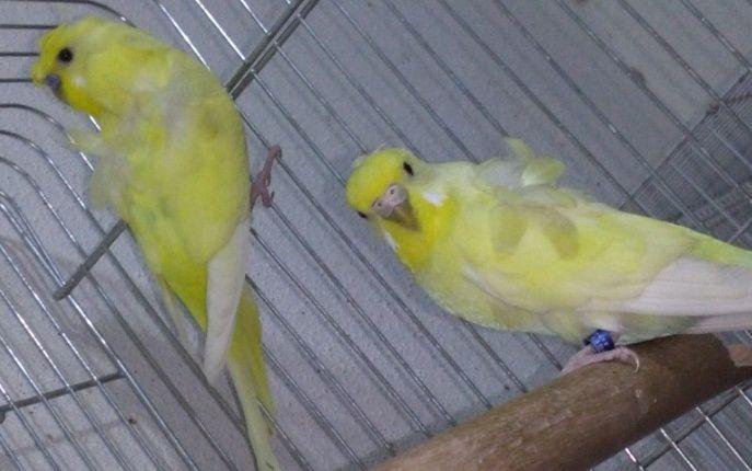 جوز طيور هوقو أصفر للبيع   1170