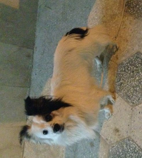 كلب فرنسي جميل و لعوب للبيع  1176