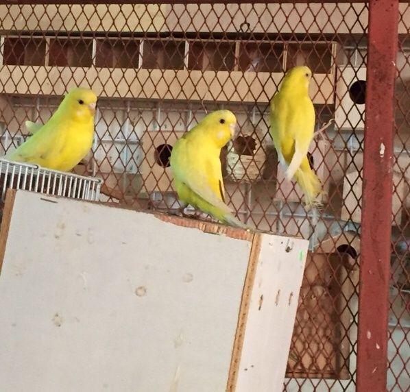 اناث طائر بادجي لاتينو للبيع 1182