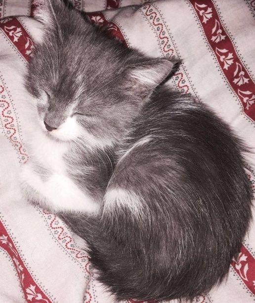 قطه شيرازيه لعوبة صغيرة للبيع  1183
