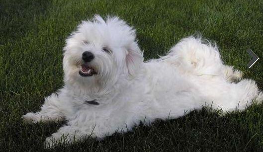كلب مالتيز مدرب لعوب جدا للبيع 120