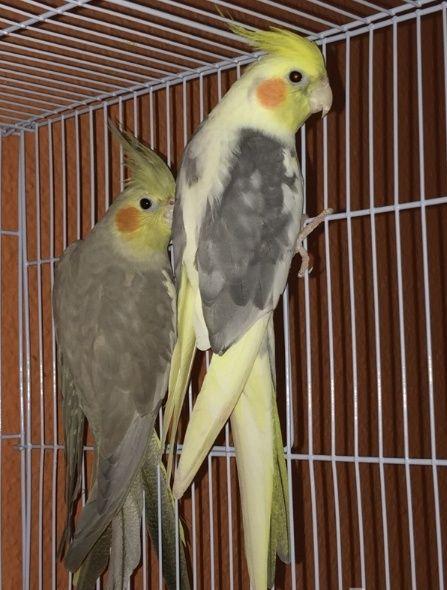 زوج طيور كروان للبيع 1213