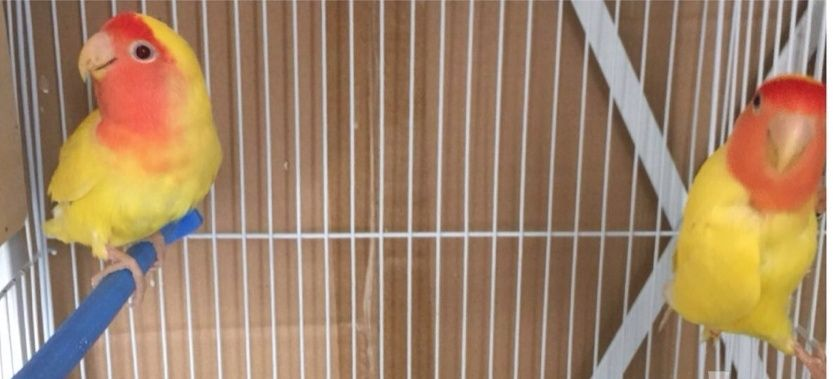 جوز طائر روز منتج تحته بيضتين ومعه فرخ غر للبيع  1227