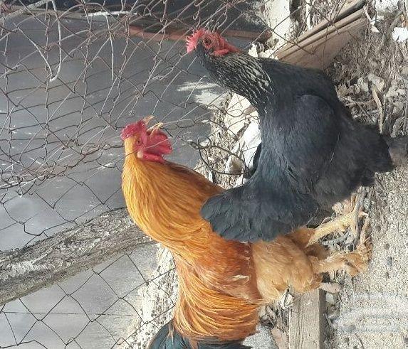 زوجين دجاج براهمه للبيع 2021 1230