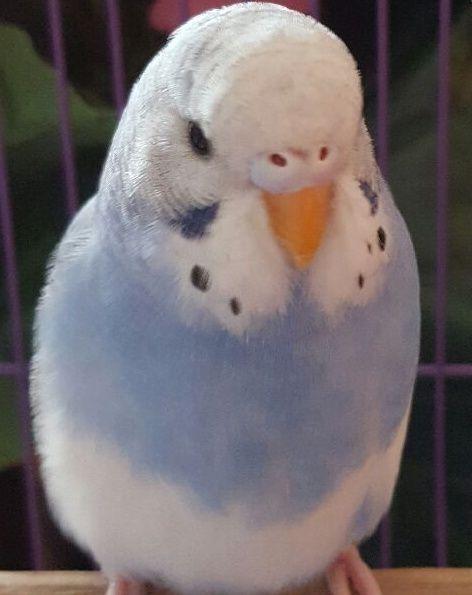 3 طيور بادجي جميلة للبيع 1245