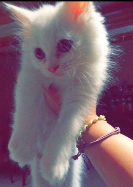 قطة شيرازي مون فيس انثى للبيع جده  1246