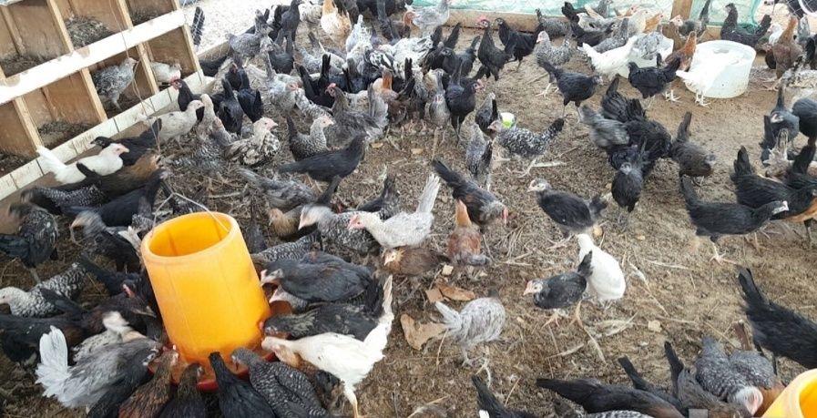 دجاج بلدي للذبح والاكل للبيع 1442 1258
