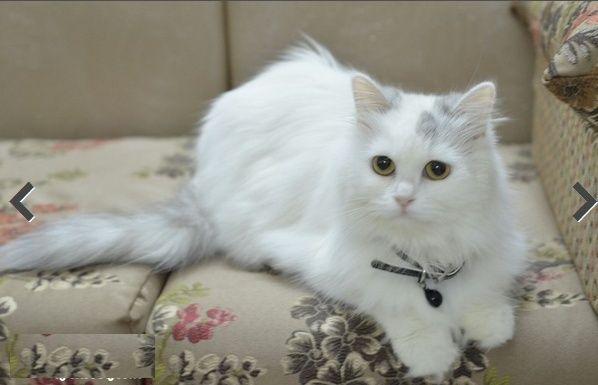 اجمل قطه مون فيس بيضاء للبيع 126