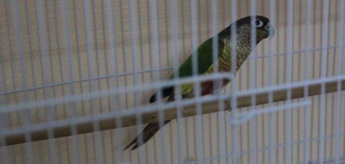 ازواج طيور كنيور منتجة للبيع  1260