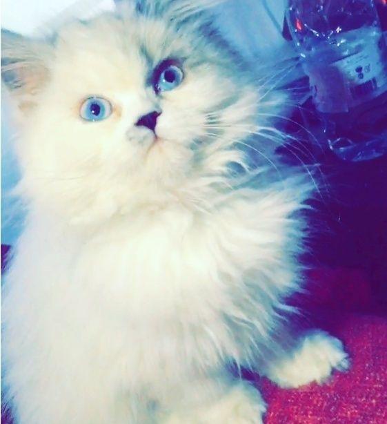 قطة همالايا انثى بيضاء للبيع بالرياض 1263