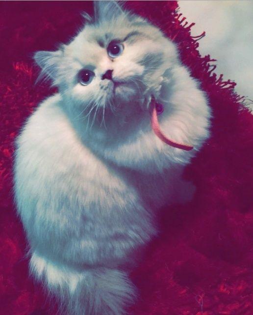 قطة همالايا انثى بيضاء للبيع بالرياض 1264