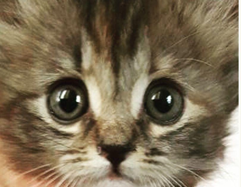 قطة شيرازيه انثى صغيرة للبيع 1283