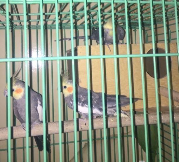 جوز طائر الكروان و ذكر للبيع 1313