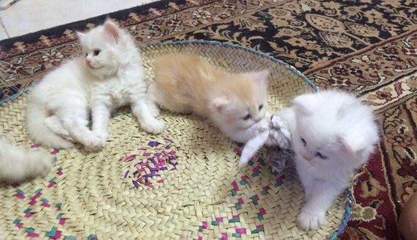 صور قطط صغيرة رائعة للبيع بجدة 132